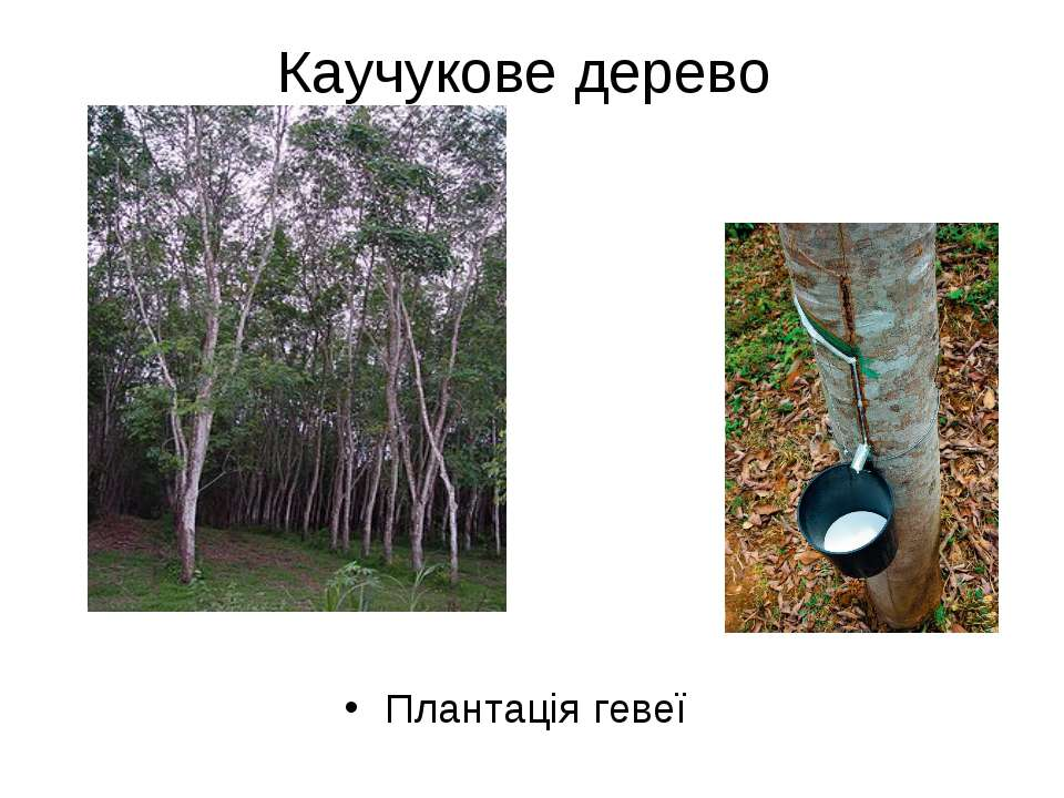 Каучукове дерево Плантація гевеї