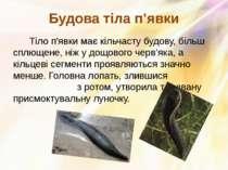 Тіло п'явки має кільчасту будову, більш сплющене, ніж у дощового черв'яка, а ...