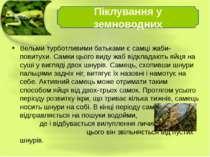 Вельми турботливими батьками є самці жаби-повитухи. Самки цього виду жаб відк...