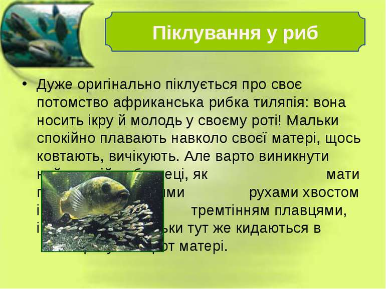 Дуже оригінально піклується про своє потомство африканська рибка тиляпія: вон...