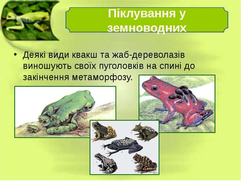 Деякі види квакш та жаб-дереволазів виношують своїх пуголовків на спині до за...