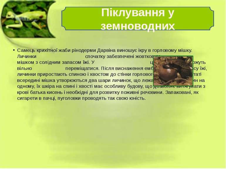 Самець крихітної жаби рінодерми Дарвіна виношує ікру в горловому мішку. Личин...