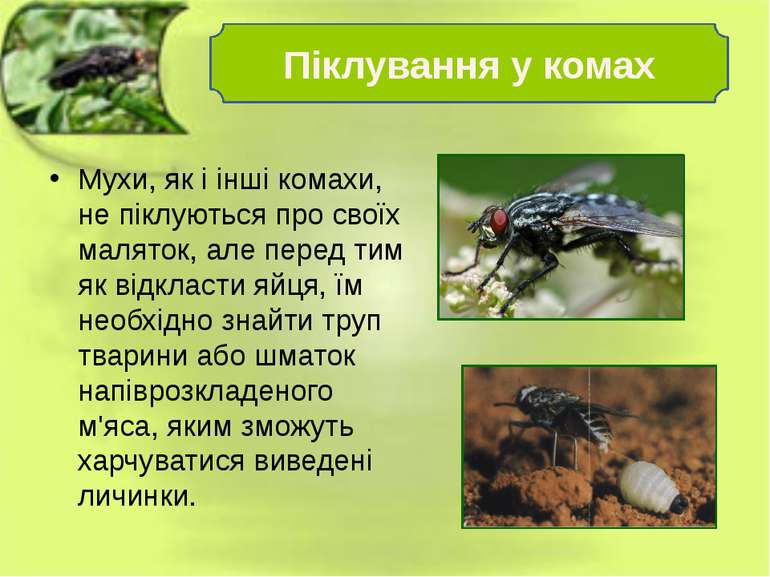 Мухи, як і інші комахи, не піклуються про своїх маляток, але перед тим як від...