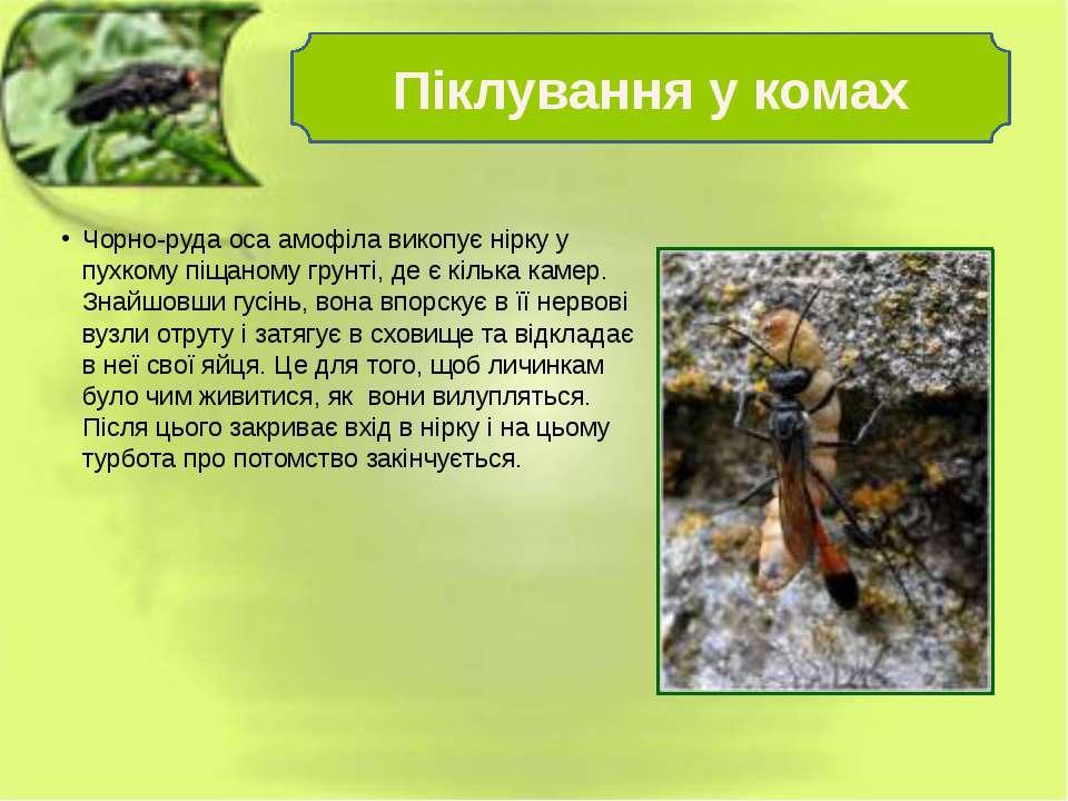 Чорно-руда оса амофіла викопує нірку у пухкому піщаному грунті, де є кілька к...