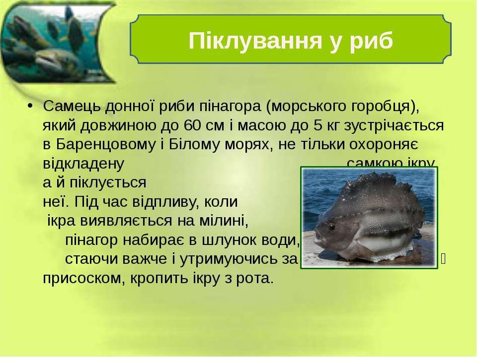 Самець донної риби пінагора (морського горобця), який довжиною до 60 см і мас...