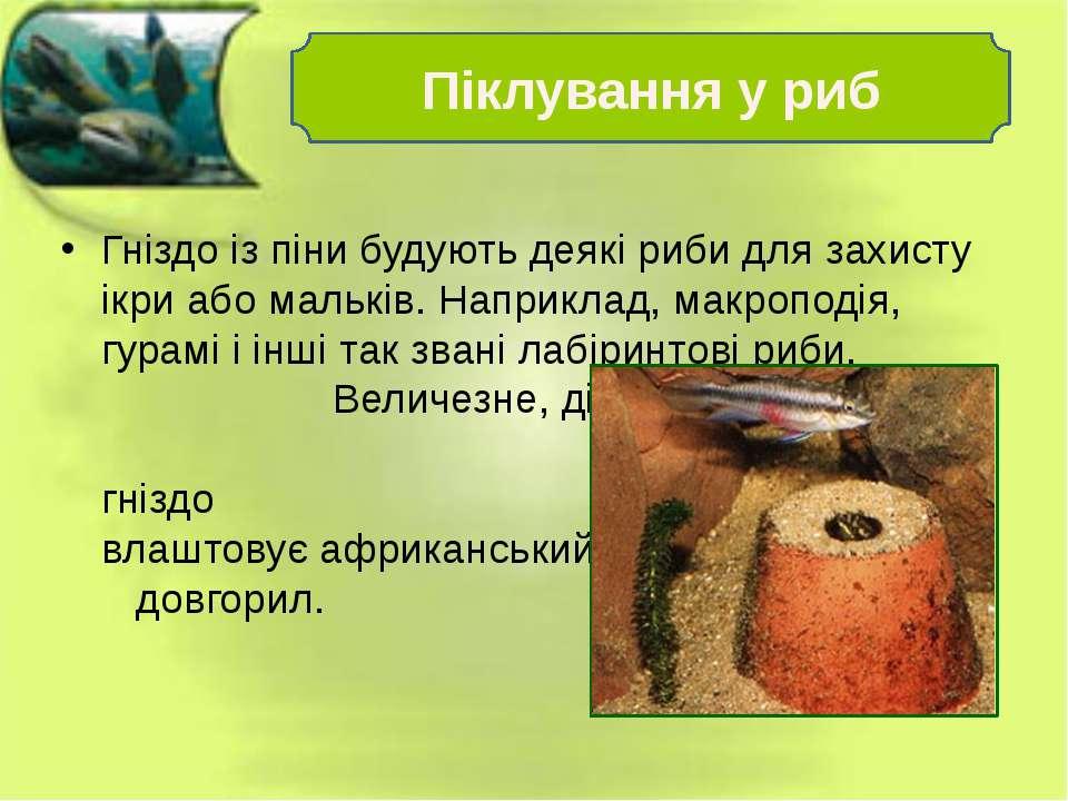 Гніздо із піни будують деякі риби для захисту ікри або мальків. Наприклад, ма...