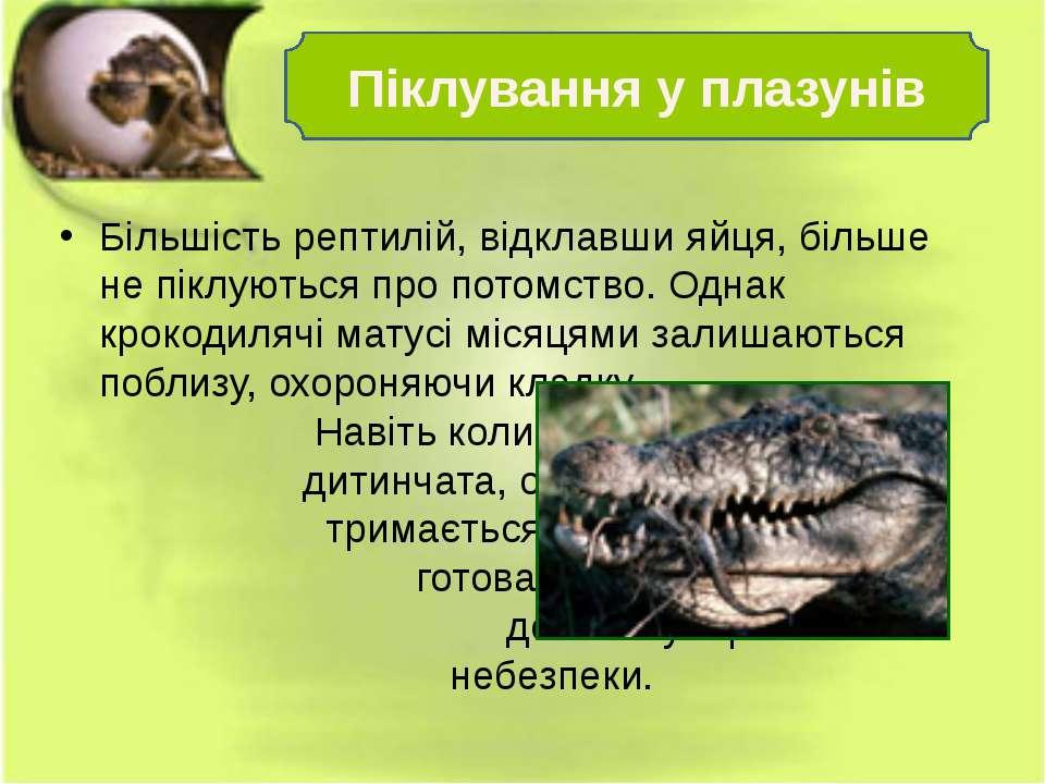 Більшість рептилій, відклавши яйця, більше не піклуються про потомство. Однак...