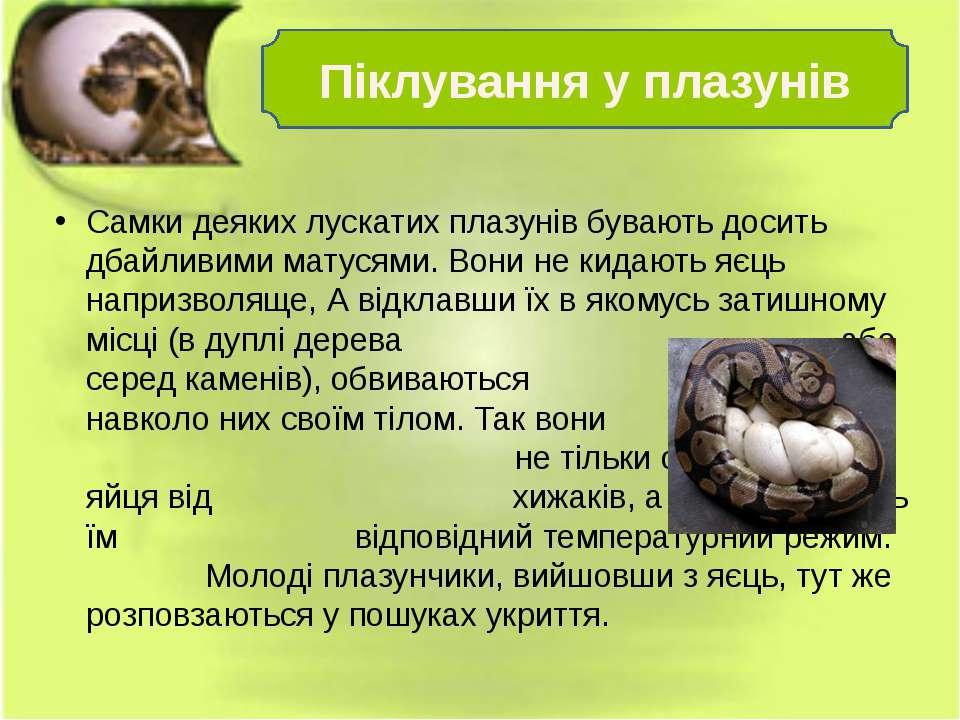 Самки деяких лускатих плазунів бувають досить дбайливими матусями. Вони не ки...