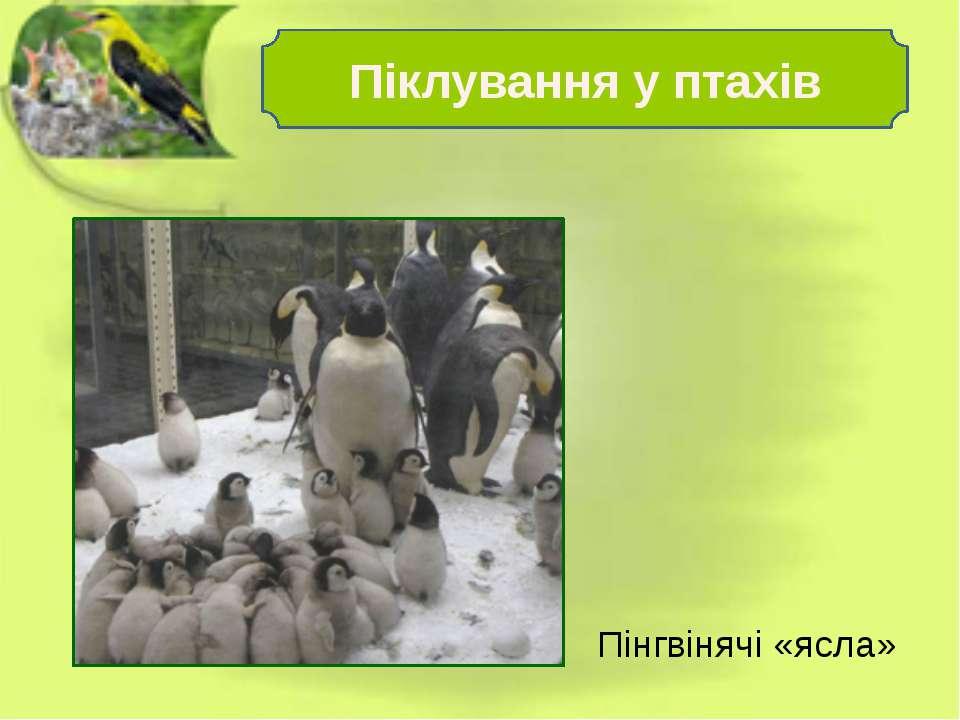 Пінгвінячі «ясла» Піклування у птахів