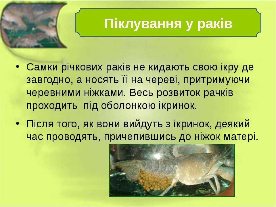 Самки річкових раків не кидають свою ікру де завгодно, а носять її на череві,...