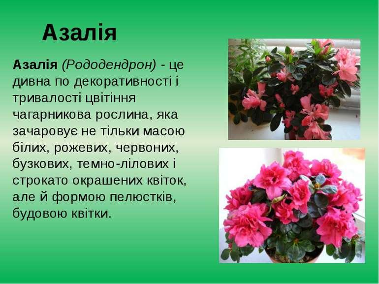 Азалія Азалія (Рододендрон)- це дивна по декоративності і тривалості цвітінн...