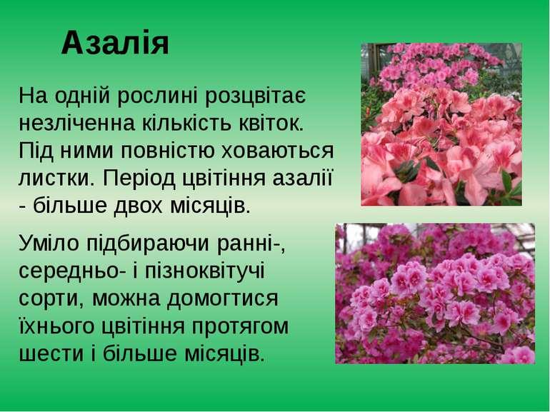 Азалія На одній рослині розцвітає незліченна кількість квіток. Під ними повні...