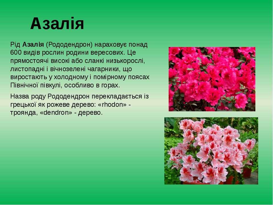 Азалія РідАзалія(Рододендрон) нараховує понад 600 видів рослин родини верес...