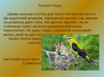 Пташині гнізда Цікаву колиску сплітає для свого потомства іволга. Це акуратни...