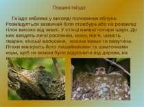 Пташині гнізда Гніздо зяблика у вигляді половинки яблука. Розміщується зазвич...
