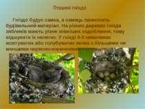 Гніздо будує самка, а самець приносить будівельний матеріал. На різних дерева...