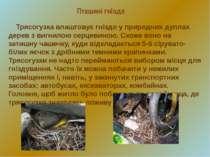 Пташині гнізда Трясогузка влаштовує гніздо у природних дуплах дерев з вигнило...
