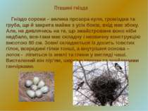 Пташині гнізда Гніздо сороки – велика прозора куля, громіздка та груба, ще й ...
