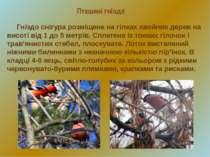 Пташині гнізда Гніздо снігура розміщене на гілках хвойних дерев на висоті від...