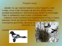 Пташині гнізда Цікаво те, що сороки кожного року будують нові гнізда, хоча ст...