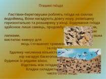 Ластівки-береговушки роблять гнізда на схилах водоймищ. Вони нагадують довгу ...