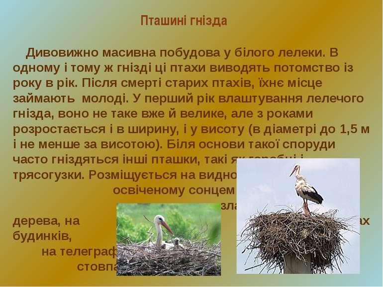 Пташині гнізда Дивовижно масивна побудова у білого лелеки. В одному і тому ж ...