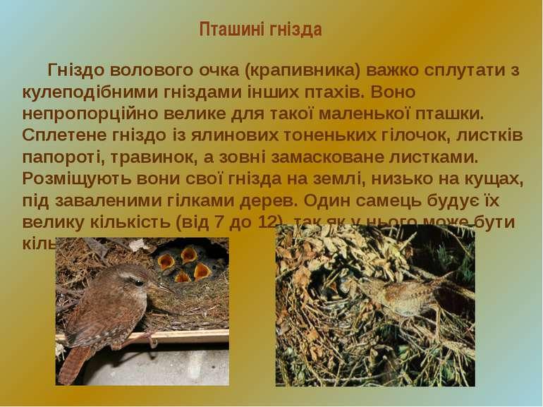 Пташині гнізда Гніздо волового очка (крапивника) важко сплутати з кулеподібни...