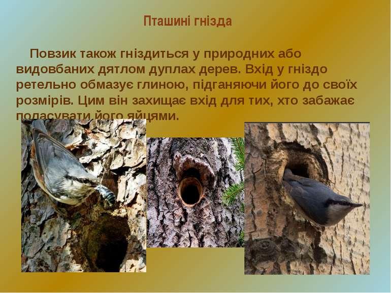 Пташині гнізда Повзик також гніздиться у природних або видовбаних дятлом дупл...