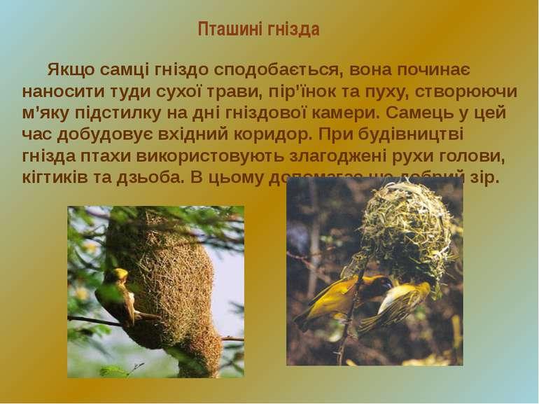 Пташині гнізда Якщо самці гніздо сподобається, вона починає наносити туди сух...