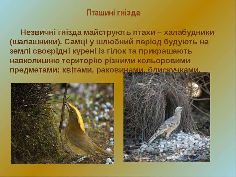 Незвичні гнізда майструють птахи – халабудники (шалашники). Самці у шлюбний п...