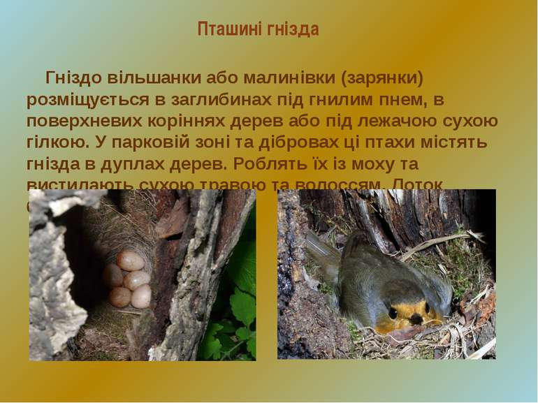 Пташині гнізда Гніздо вільшанки або малинівки (зарянки) розміщується в заглиб...