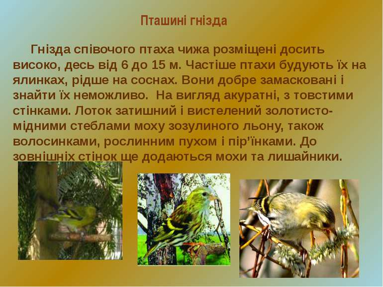 Пташині гнізда Гнізда співочого птаха чижа розміщені досить високо, десь від ...