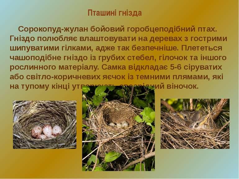 Пташині гнізда Сорокопуд-жулан бойовий горобцеподібний птах. Гніздо полюбляє ...