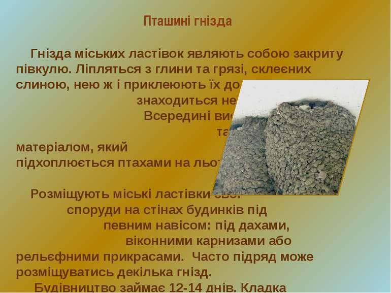 Гнізда міських ластівок являють собою закриту півкулю. Ліпляться з глини та г...