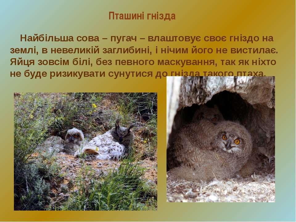 Пташині гнізда Найбільша сова – пугач – влаштовує своє гніздо на землі, в нев...