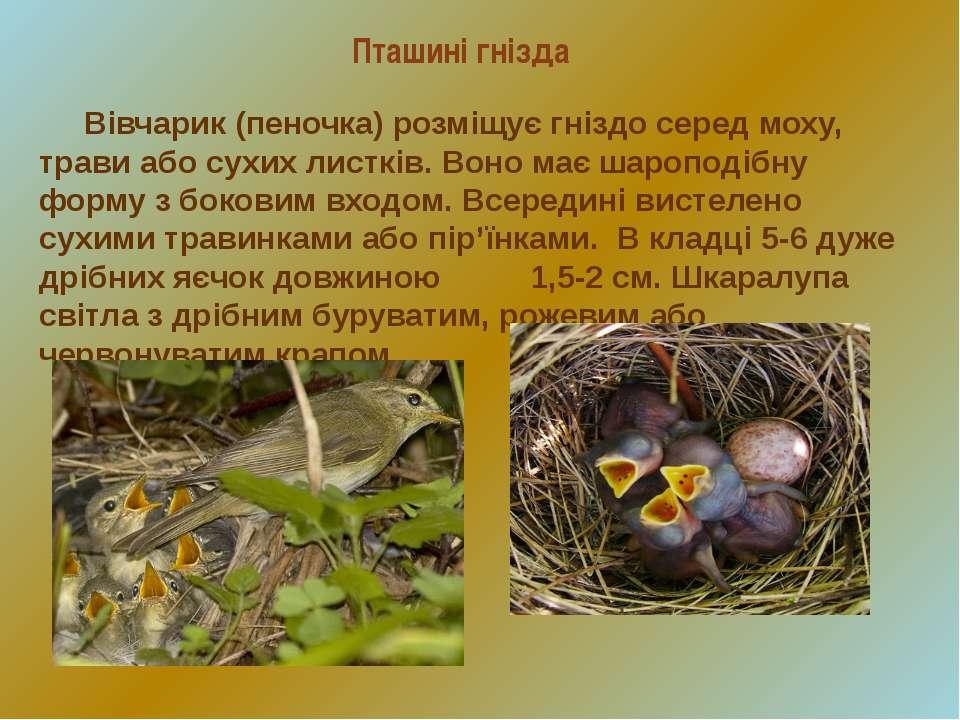 Пташині гнізда Вівчарик (пеночка) розміщує гніздо серед моху, трави або сухих...