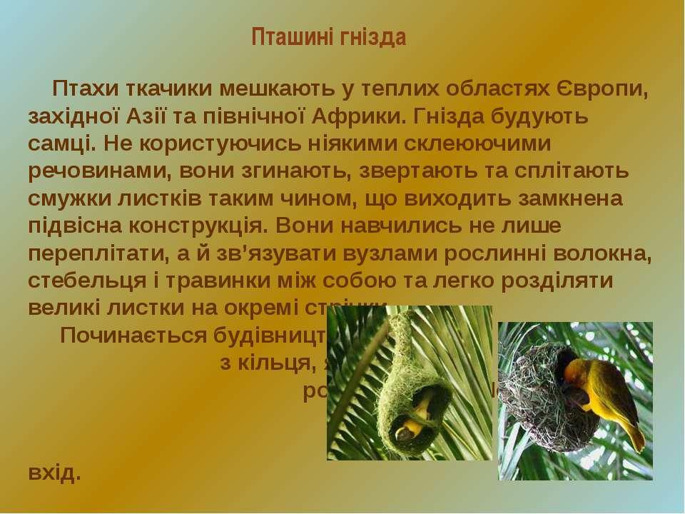 Пташині гнізда Птахи ткачики мешкають у теплих областях Європи, західної Азії...