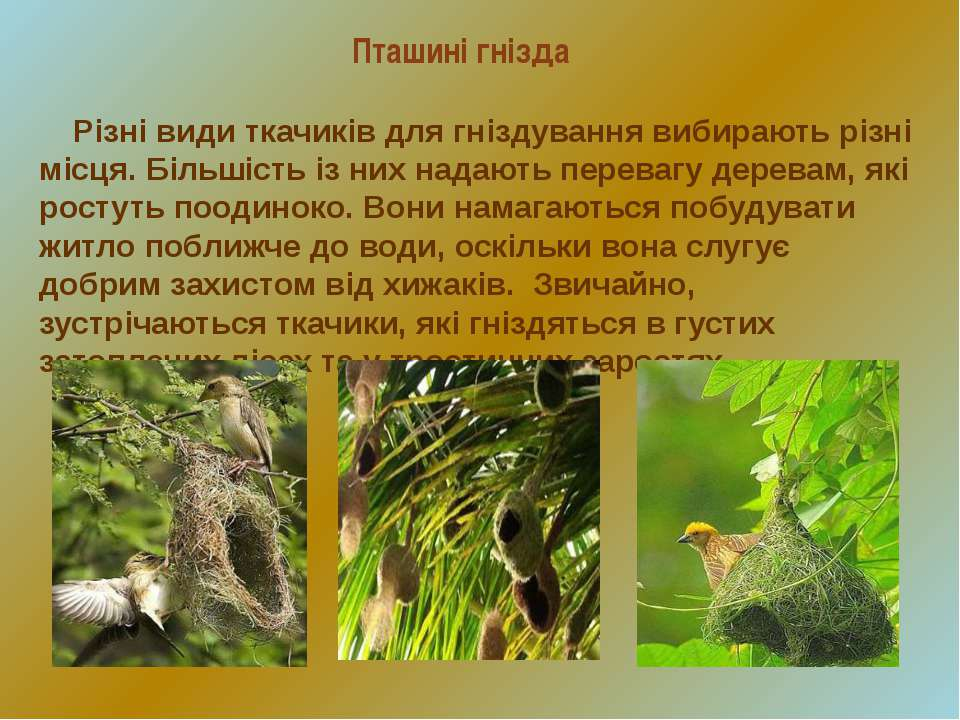 Пташині гнізда Різні види ткачиків для гніздування вибирають різні місця. Біл...