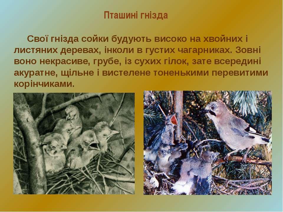 Пташині гнізда Свої гнізда сойки будують високо на хвойних і листяних деревах...