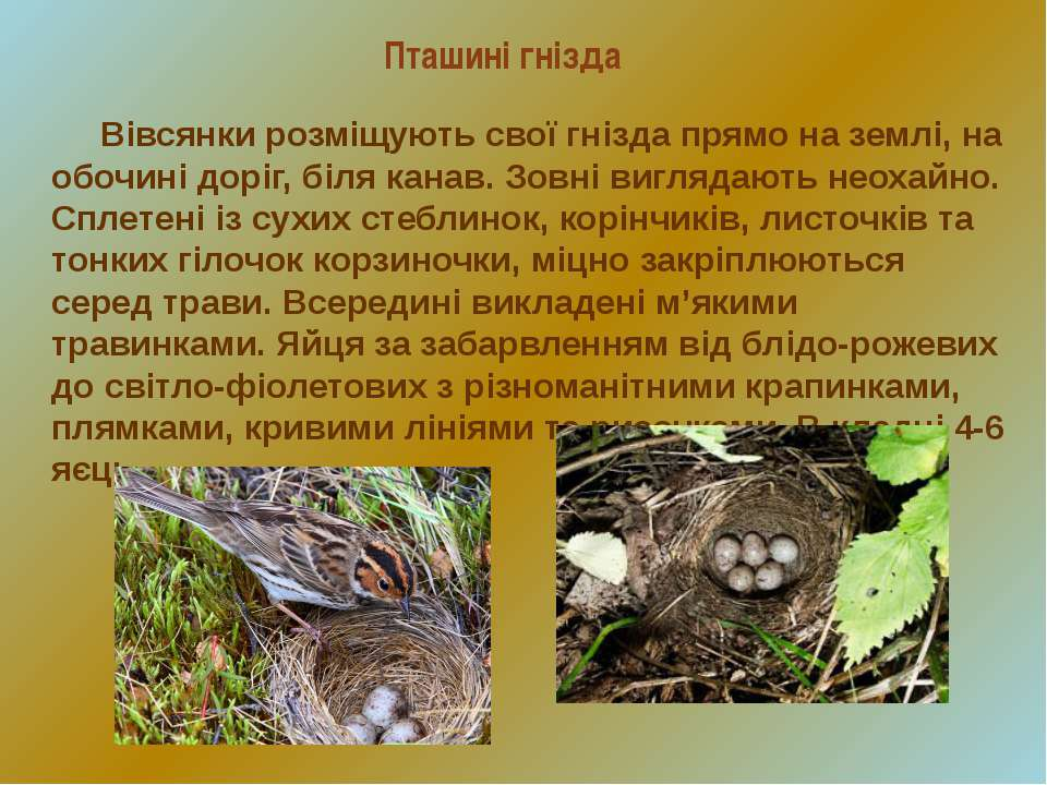 Пташині гнізда Вівсянки розміщують свої гнізда прямо на землі, на обочині дор...