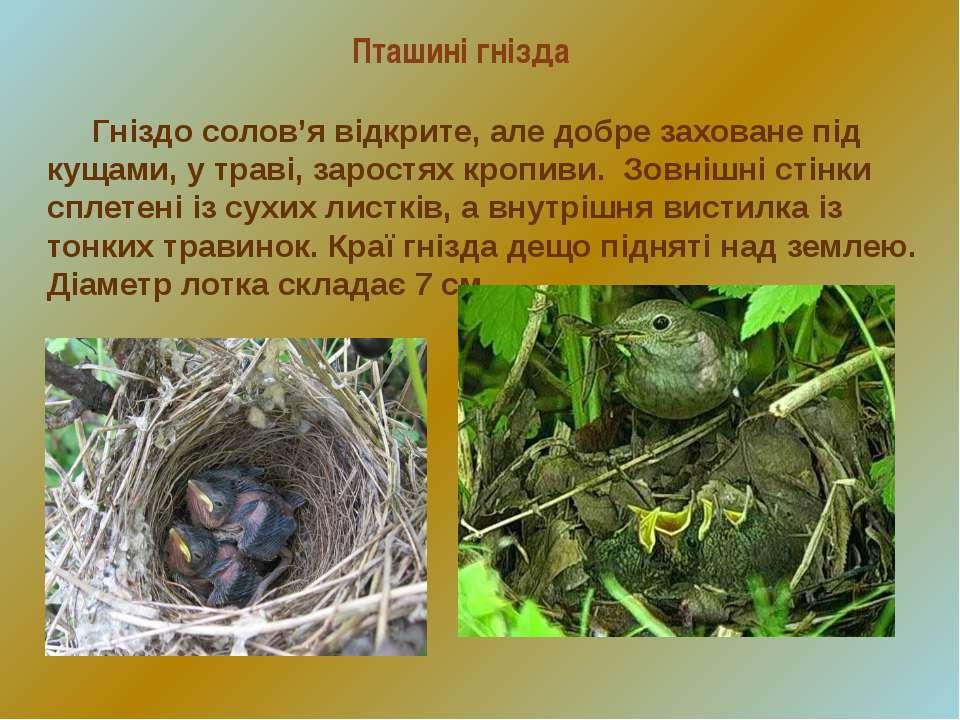 Пташині гнізда Гніздо солов'я відкрите, але добре заховане під кущами, у трав...