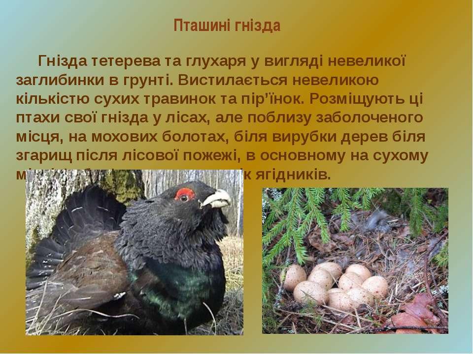 Пташині гнізда Гнізда тетерева та глухаря у вигляді невеликої заглибинки в гр...