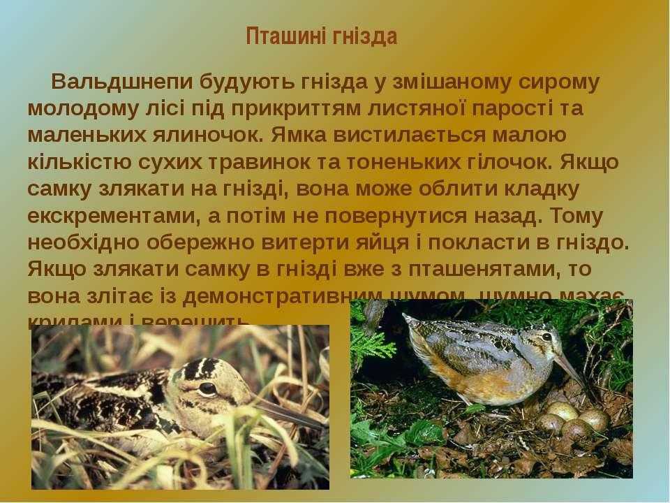 Пташині гнізда Вальдшнепи будують гнізда у змішаному сирому молодому лісі під...