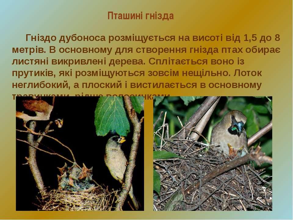 Пташині гнізда Гніздо дубоноса розміщується на висоті від 1,5 до 8 метрів. В ...