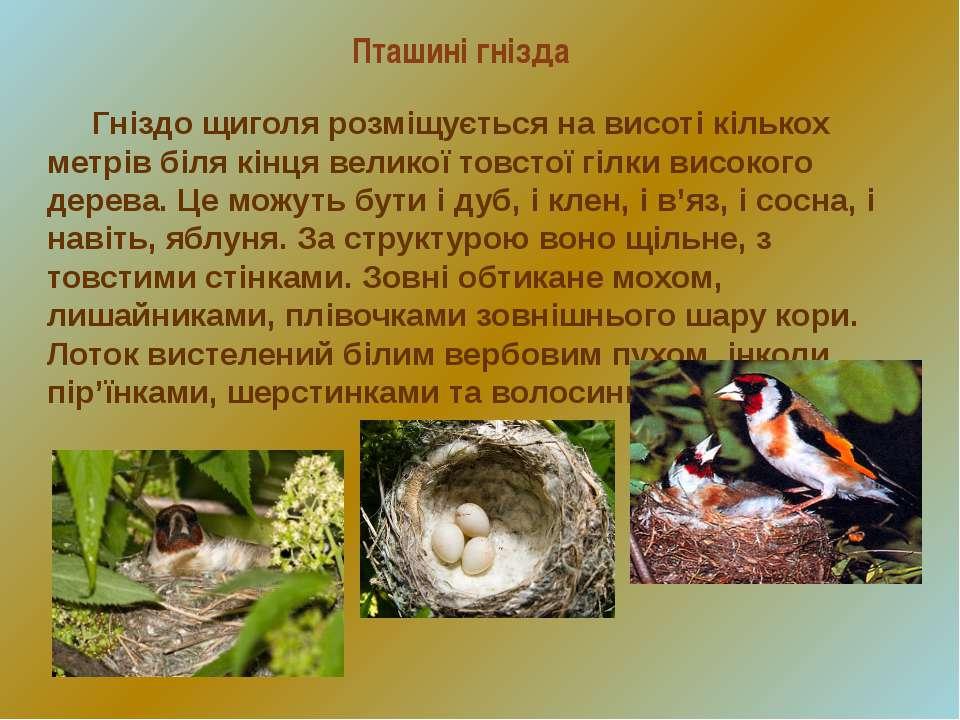 Пташині гнізда Гніздо щиголя розміщується на висоті кількох метрів біля кінця...