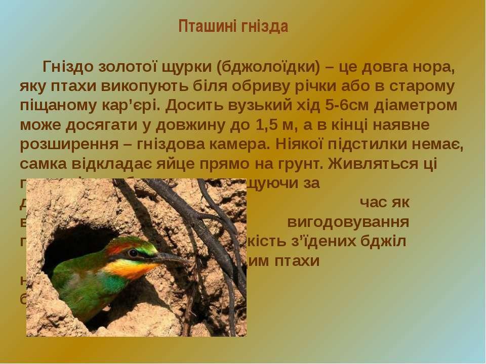 Пташині гнізда Гніздо золотої щурки (бджолоїдки) – це довга нора, яку птахи в...