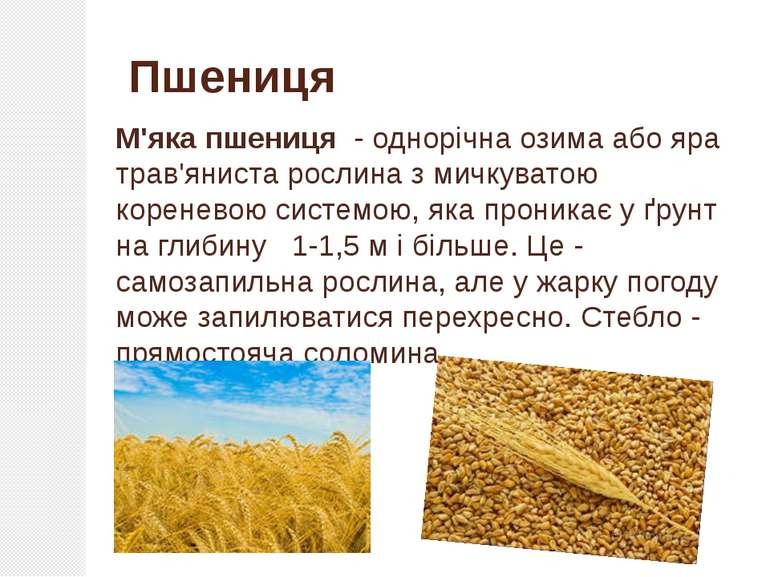 М'яка пшениця - однорічна озима або яра трав'яниста рослина з мичкуватою кор...