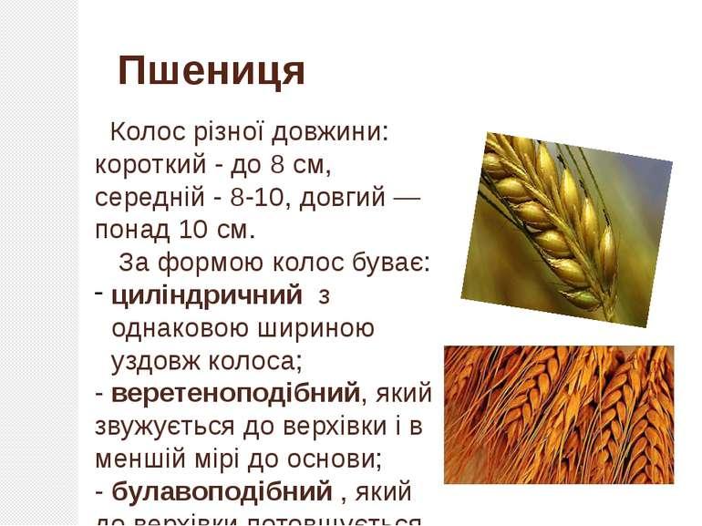Колос різної довжини: короткий- до 8 см, середній- 8-10, довгий— понад 10 ...