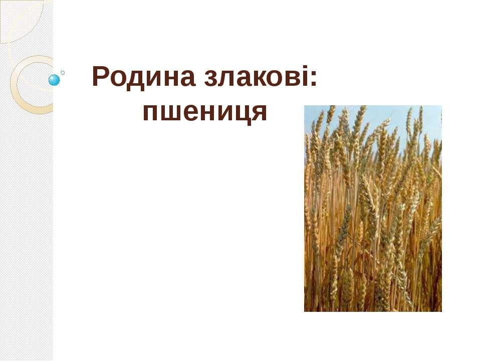 Родина злакові: пшениця