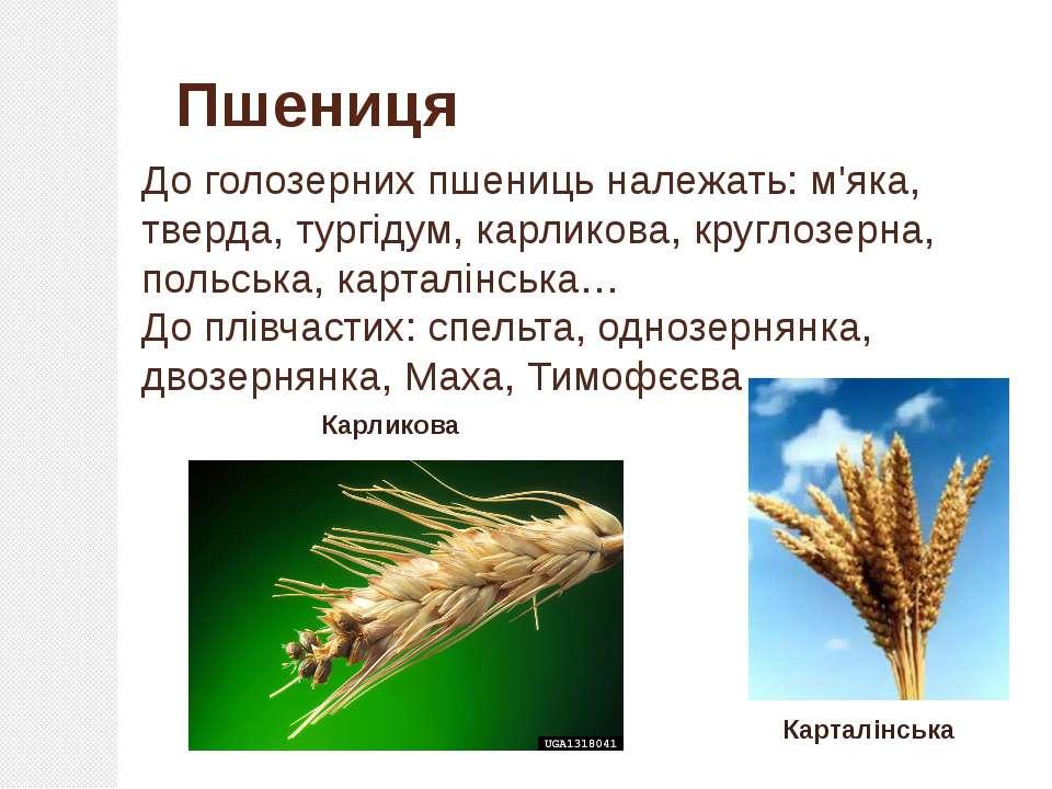 До голозерних пшениць належать: м'яка, тверда, тургідум, карликова, круглозер...